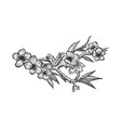 cherry blossom sketch engraving vector image vector image