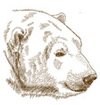 engraving drawing of polar bear head vector image vector image