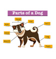 Diagram showing different part of dog vector image