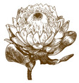 engraving of protea white pride vector image