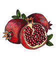 pomegranate fruit berry organic nutrition vector image vector image