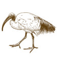 engraving of african sacred ibis vector image vector image