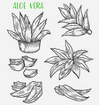 aloe vera plant sketch skincare cosmetic plant vector image