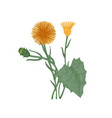 coltsfoot flowers buds and leaves isolated on vector image vector image
