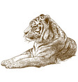 engraving drawing of siberian tiger amur tiger vector image