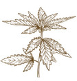 engraving of cannabis leaf vector image vector image