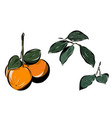 orange with leaves and branches vector image