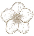 engraving of anemone flower vector image