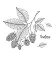 hand drawn of raspberry isolated on vector image vector image