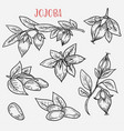 sketches of jojoba stem with leaves and nut vector image