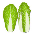 cabbages vector image vector image