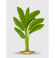 banana tree on transparent background vector image vector image