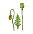 poppy flower stem closed bud leaf set vector image
