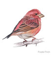 purple finch hand drawing vector image vector image