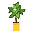 dieffenbachia house plant in flower pot vector image vector image