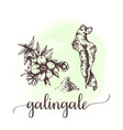 galingale sketch on watercolor paint hand drawn vector image