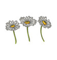 chamomile daisy flower sketch engraving vector image