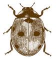 engraving of ladybug or ladybird vector image vector image