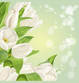 white tulips on background vector image vector image