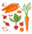 bright of carrot radish vector image