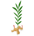 ginger with roots and leaves vector image vector image