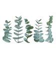 eucalyptus gunnii silver dollar greenery gum vector image vector image