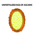 egg of the roundworm unfertilized ascaris eggs vector image vector image