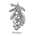 ink sketch of macadamia vector image vector image