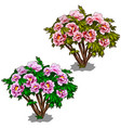 two plants of purple and pink bushes of peonies vector image vector image