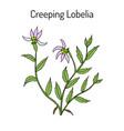 lobelia chinensis medicinal plant vector image vector image