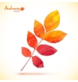 Orange watercolor painted rowan leaf vector image vector image