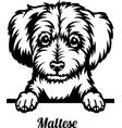 maltese peeking dog - head isolated on white vector image vector image