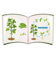 book of bean life cycle vector image vector image