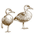 engraving drawing two ducks vector image