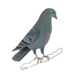 Dove Carrier pigeon domestic breed sports bird vector image vector image