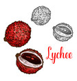 Lychee fruit sketch of exotic tropical litchi