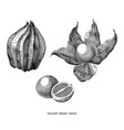 golden berry vintage engraving isolated on white vector image vector image