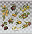 isolated set of green and black olive branches vector image