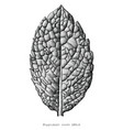 antique engraving peppermint leave hand draw vector image vector image