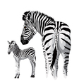 Zebra with a foal vector image vector image
