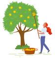 basket ripe apples fruit tree harvest vector image vector image