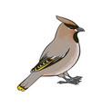 drawing waxwing vector image vector image