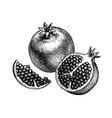ink sketch pomegranate vector image