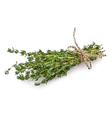 Thyme vector image
