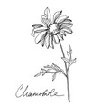 chamomile floral botanical flowers black vector image vector image