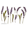 set hand drawn colored lavender vector image