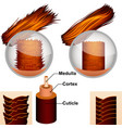 the structure of hair in the section vector image