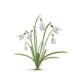 Snowdrop flowers on white background vector image vector image