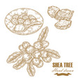 shea tree branch nuts and butter isolated on vector image vector image