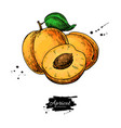apricot drawing hand drawn fruit and vector image vector image